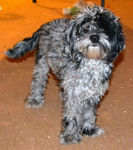 Cockapoo Puppies for Sale - Cockapoo Breeder - Cockapoo of